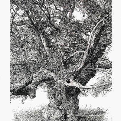 Repton oak